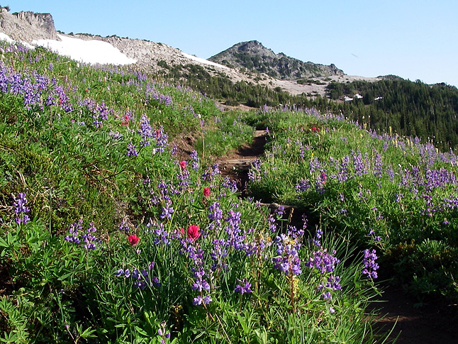 In early summer, wildflowers abound on the Wonderland Trail