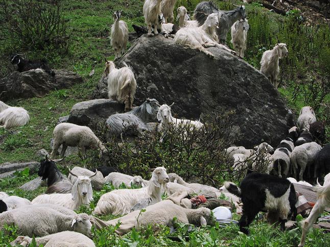 山羊の群れのなかで羊飼いが昼寝していた。One of the shepherds relaxing with his herd.