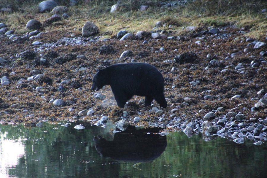 LIZ13_03_A black bear near a pond by Zeuss Cochrane