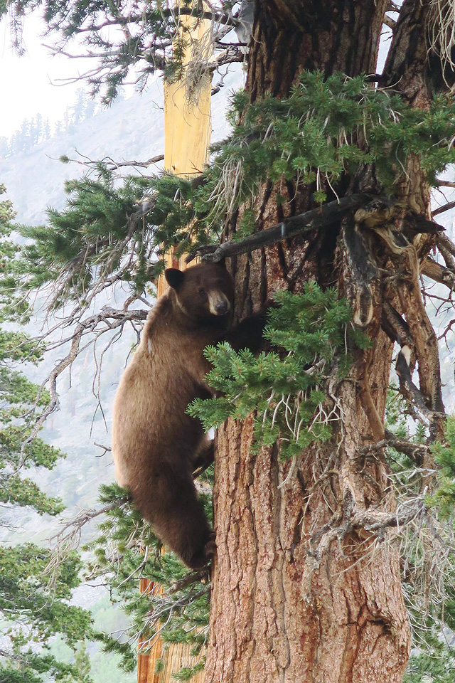 LIZ13_08_Black bear near Woods Creek on the PCT by Steve Queen