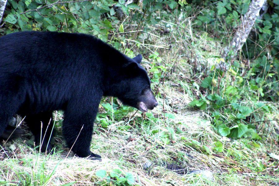 LIZ13_09_Black bears can get rather big by Zeuss Cochrane